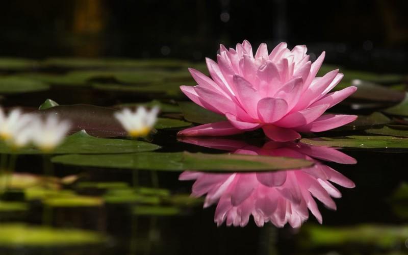 wallpaper gambar bunga teratai pink